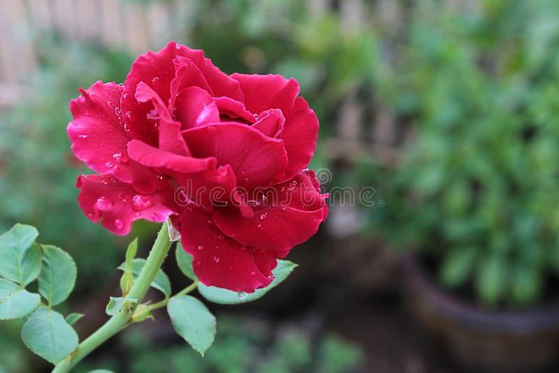 Rose fresca en fondo del jardín foto de archivo libre de regalías