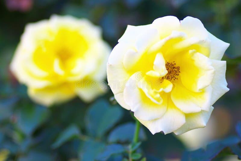 Rose Fresia image stock