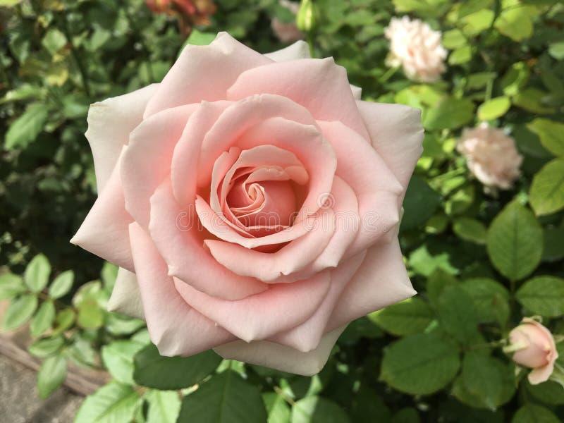 Rose Front View blanca fotografía de archivo