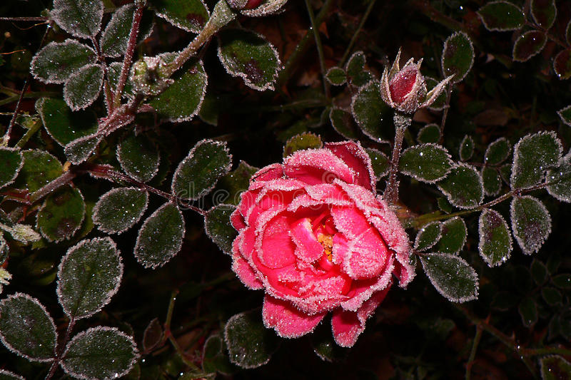 Rose in the frost. Pink rose in the frost stock images