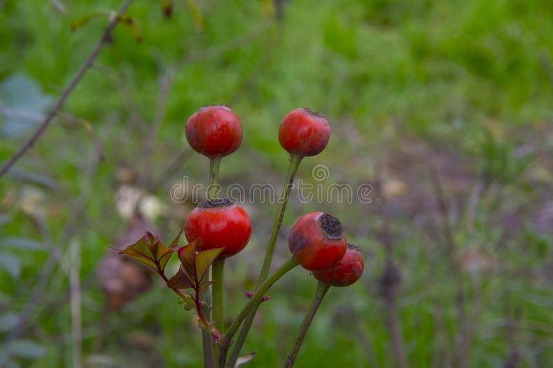 Rose fruits, briar. Rose hips in garden stock photos