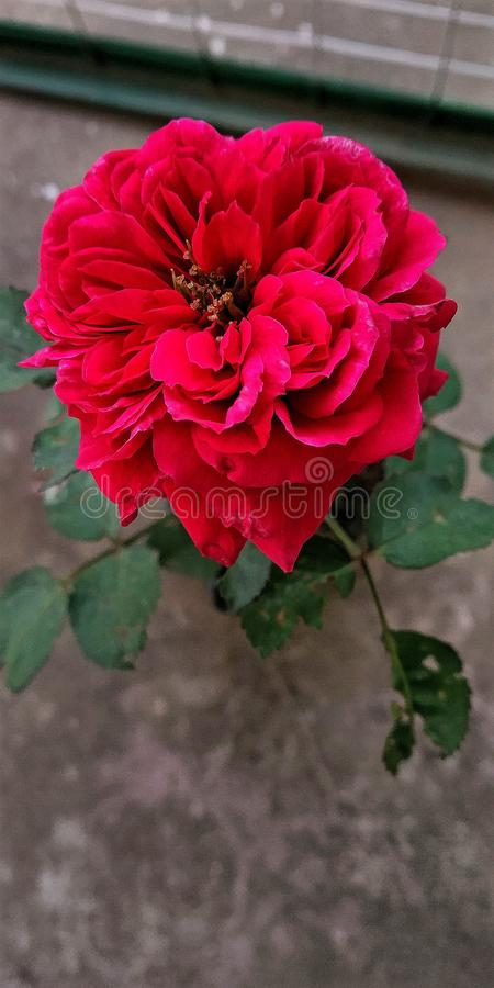 The rose is full of petals. The red rose has very vibrant petals of all sizes overlapping each other from smaller to bigger royalty free stock photography