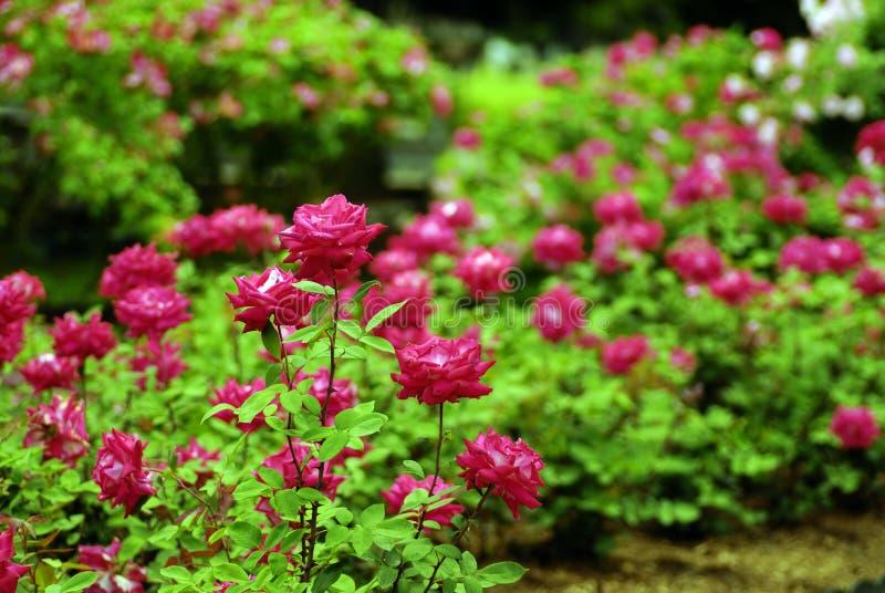 Rose Garden stock images