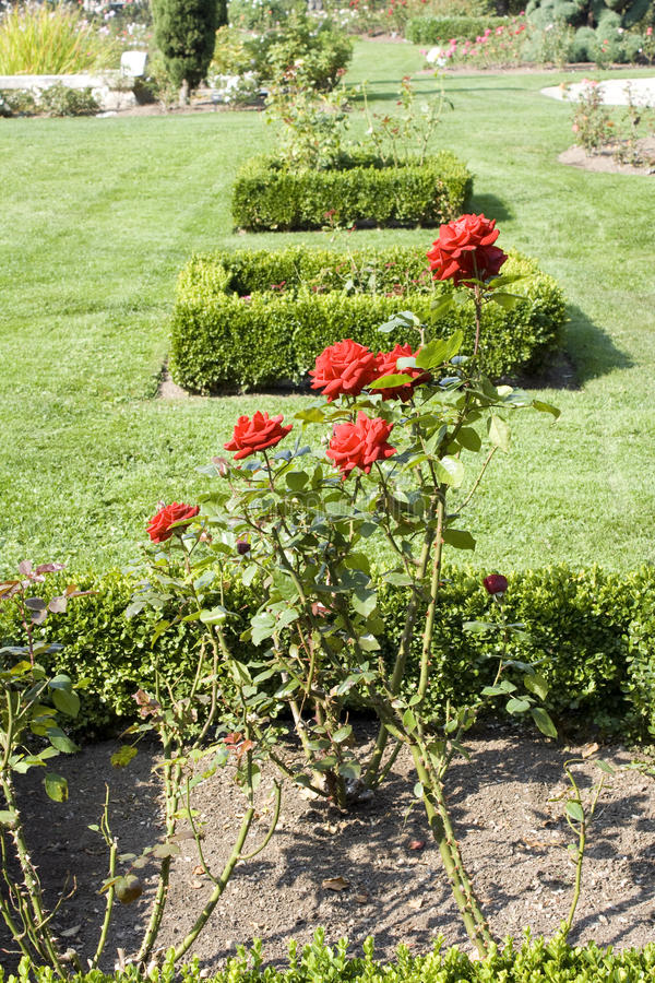 Rose garden stock photo