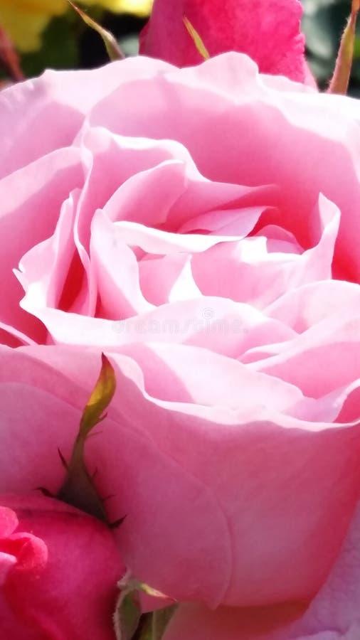 Rose. In the garden royalty free stock photos
