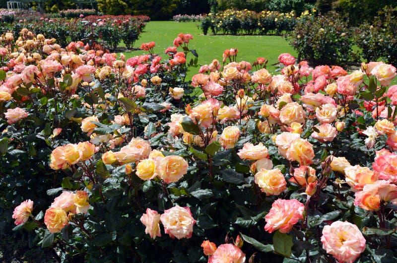 Rose Garden av Palmerston norr NZL arkivfoto