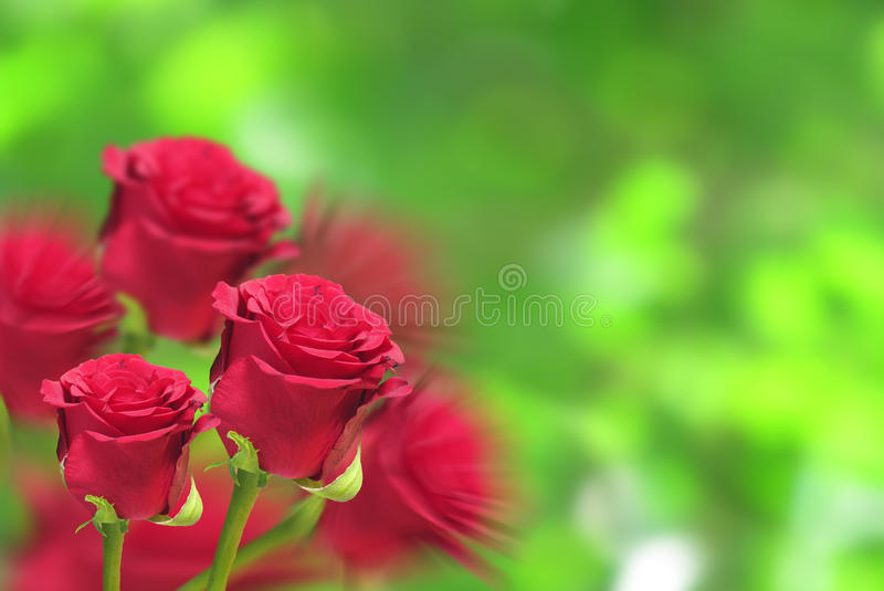 Rose garden background royalty free stock image