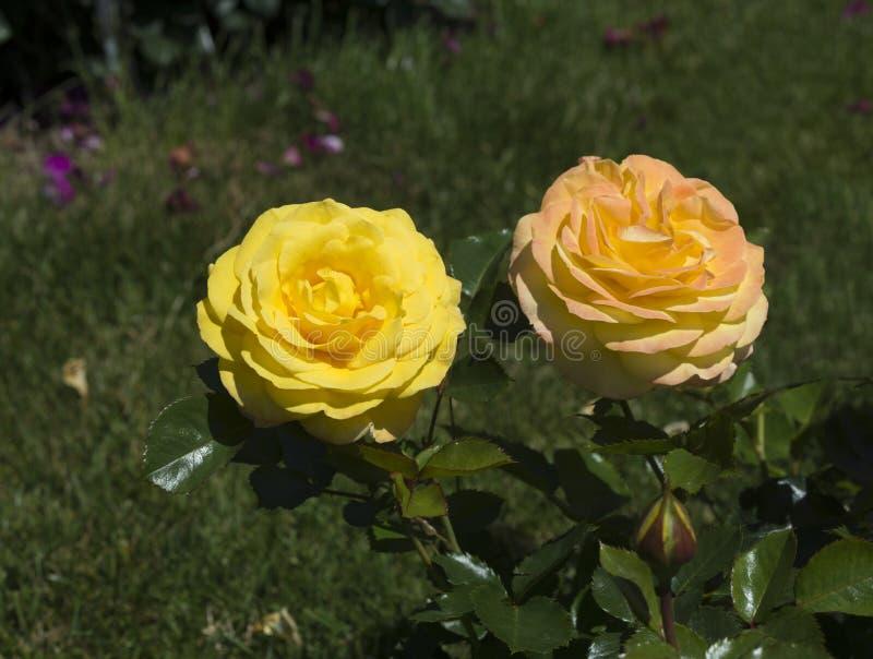 Rose Garden chez le Beutig_ Baden Baden, Allemagne images libres de droits