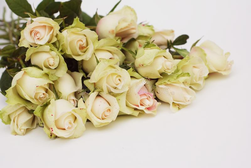Rose Garden com as rosas frescas brancas e cor-de-rosa Fundo de muitas rosas cor-de-rosa Textura da flor grupo grande do rosa múl foto de stock royalty free