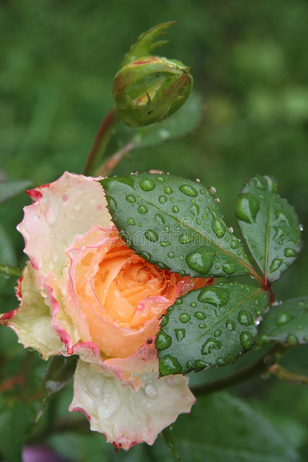 Rose in the garden with the drops of the rain on the petals. royalty free stock photo