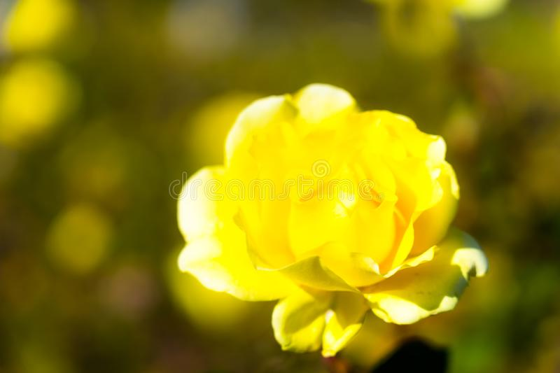Heart crystal glass refract sunlight - rose garden background. AT 1/4/2019 in Rose garden royalty free stock photo