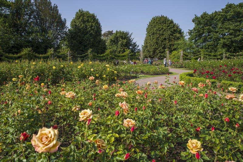 Rose Garden i regenter parkerar royaltyfri bild