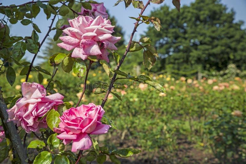 Rose Garden i regenter parkerar royaltyfri fotografi