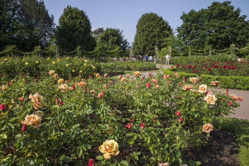 Rose Garden i regenter parkerar fotografering för bildbyråer