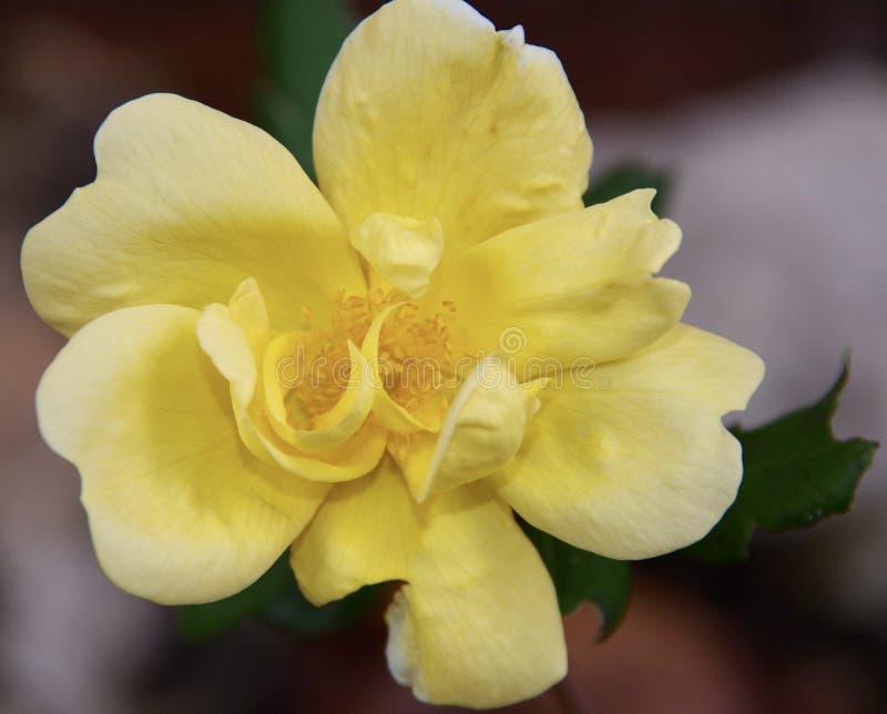 Rose In Garden jaune photo libre de droits