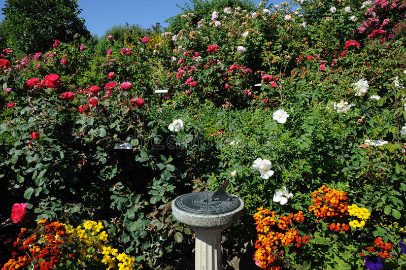 Rose garden landscaping royalty free stock image