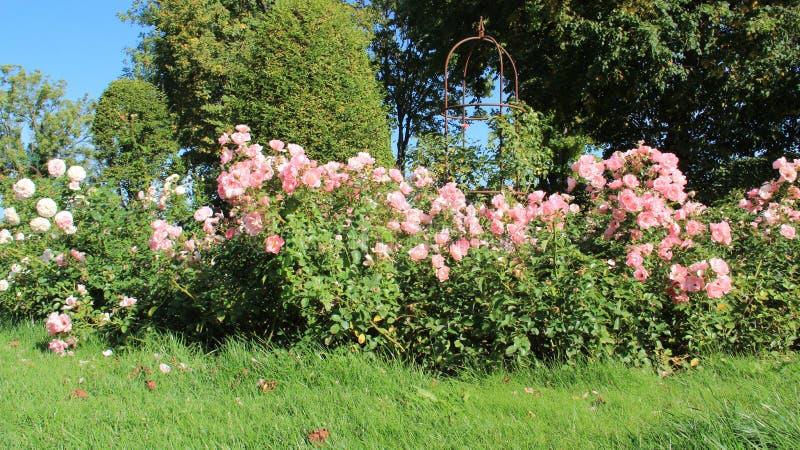 Rose Garden With Sunny And grönt gräs arkivfoton