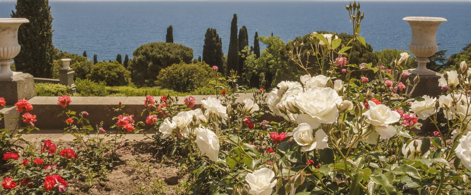 Rose garden of white and red roses on the southern terrace of the Vorontsov Palace.Crimea royalty free stock image
