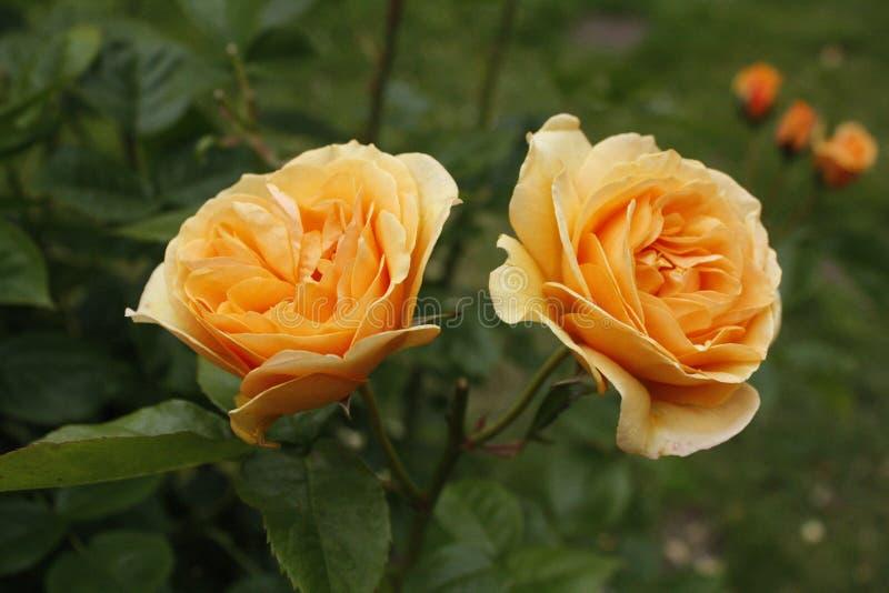 Rose gemellare fotografia stock