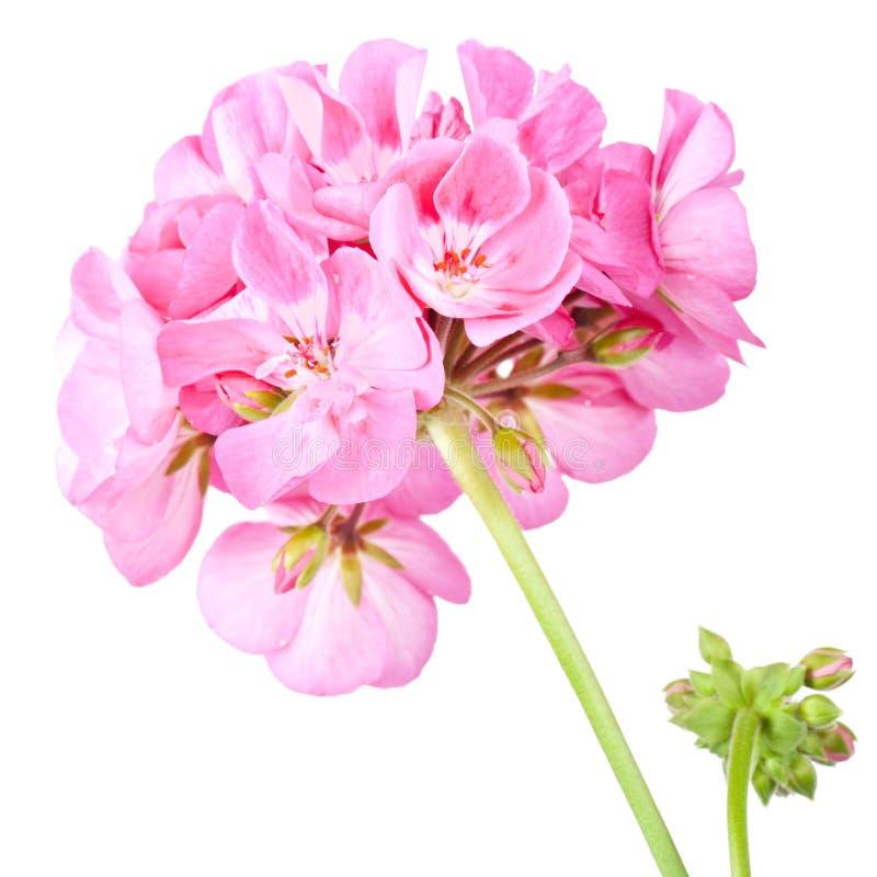 Rose geranium. Isolated on a white background royalty free stock image