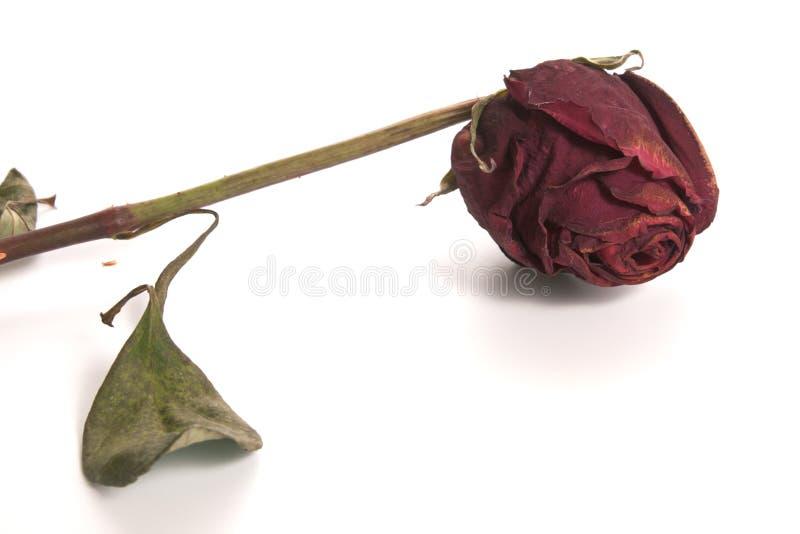Rose - getrocknet lizenzfreies stockbild