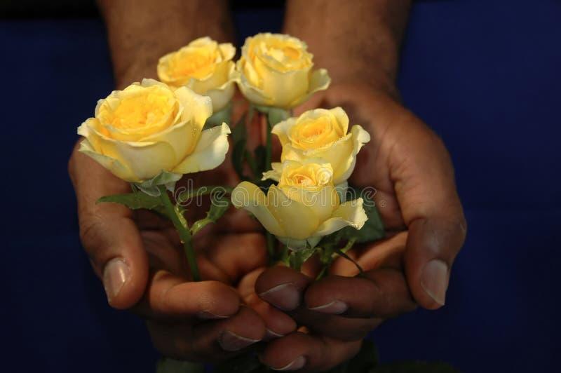 Rose gialle in mani fotografia stock libera da diritti