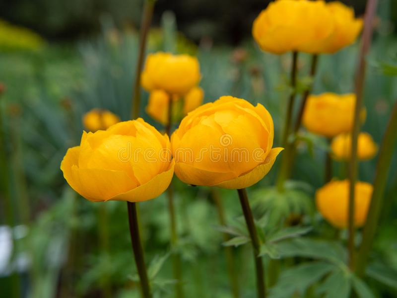 Rose gialle nel giardino fotografia stock libera da diritti