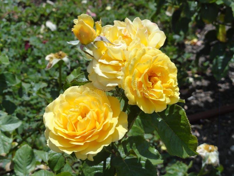 Rose gialle nel parco di retiro fotografia stock libera da diritti