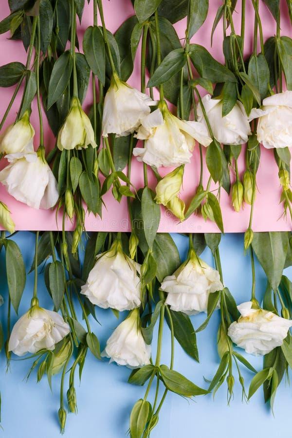 Rose giapponesi su una busta rosa in cui rose su un fondo blu sottosopra fotografie stock