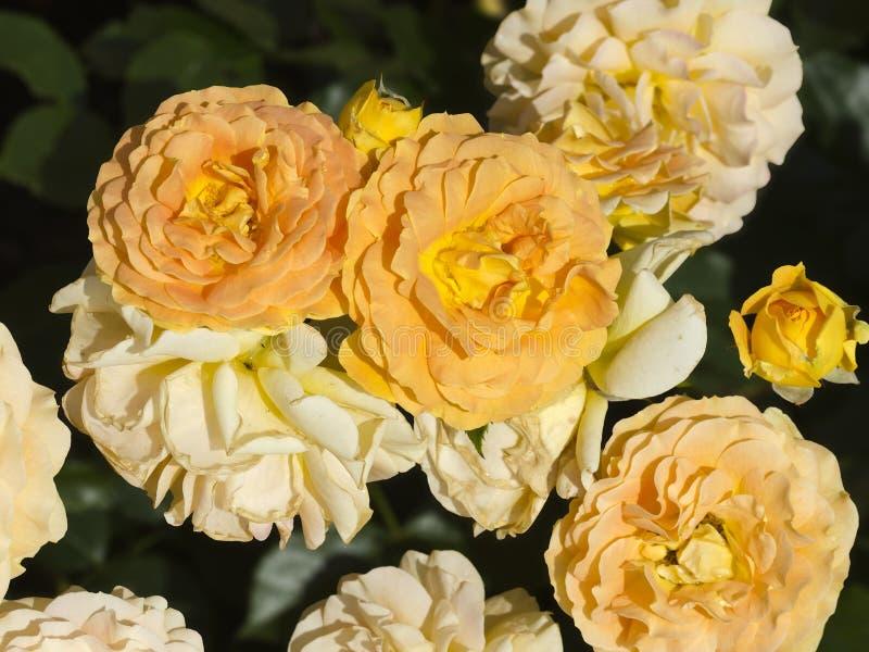 Rose Goldelse stockbilder