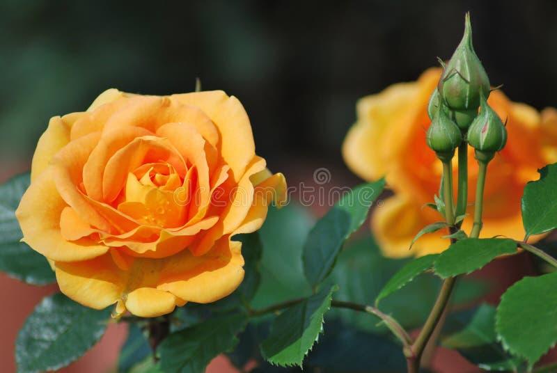 Rose Goldelse im Garten stockfoto