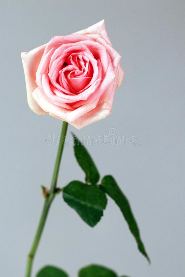 Pink rose love isolated gratitude admiration joy deep love background royalty free stock photo