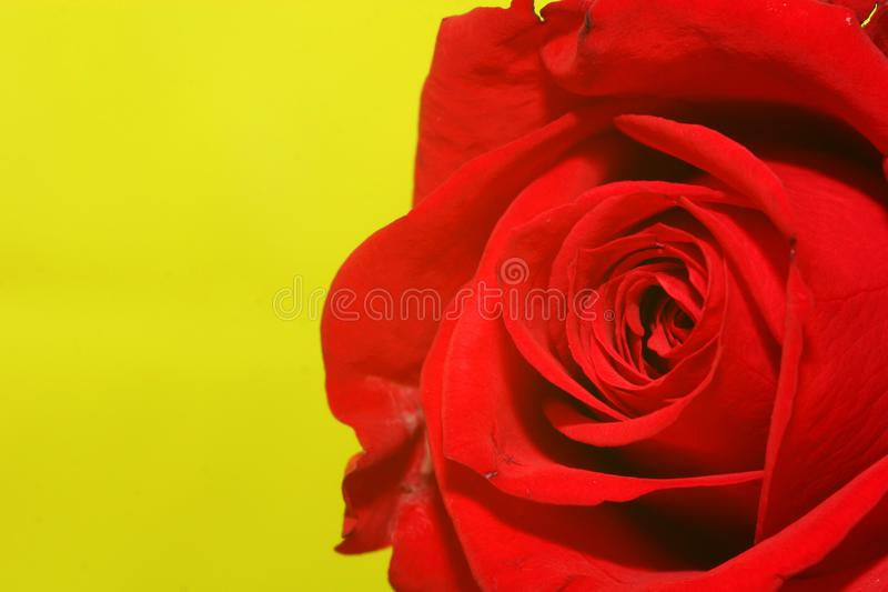 Rose-on-green stock photo