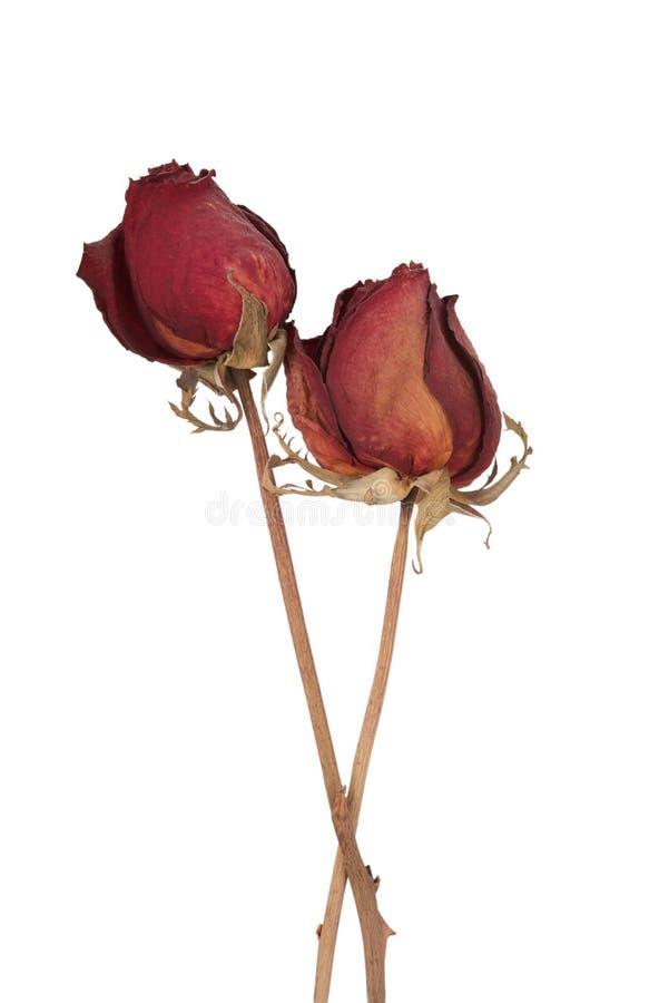 Rose guasti isolate fotografia stock