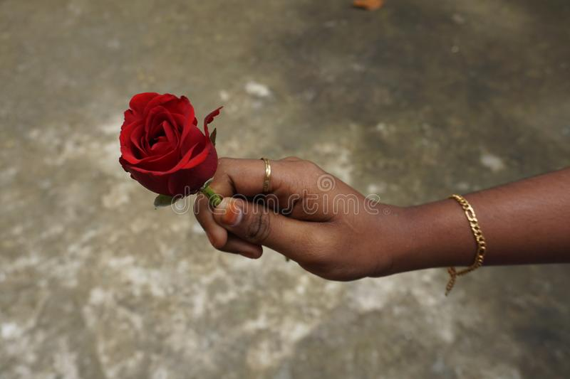 Rose in hand royalty free stock images