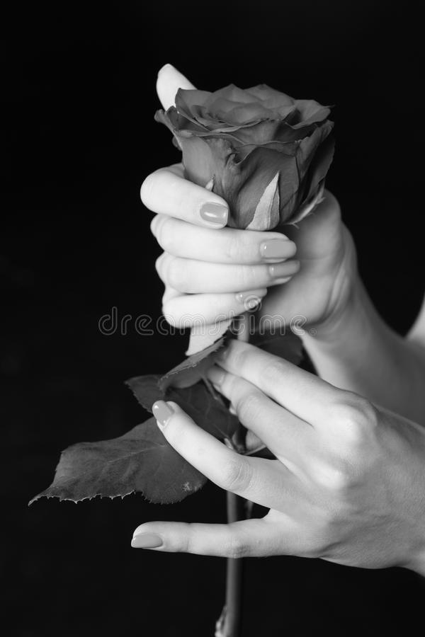 Rose in hands. Rose flower gift. Tender as flower. Feel passion and love. Beauty. Gardening and life extension stock image