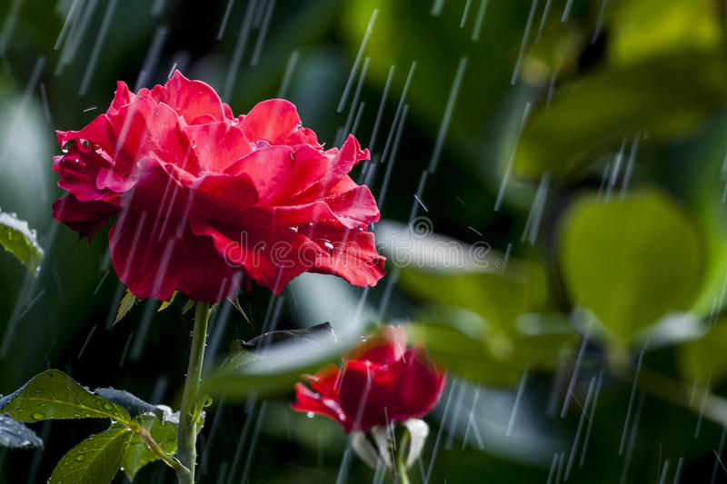 Rose in a Hard Summer Rain. Just a summer rain and the red roses in the garden royalty free stock photos