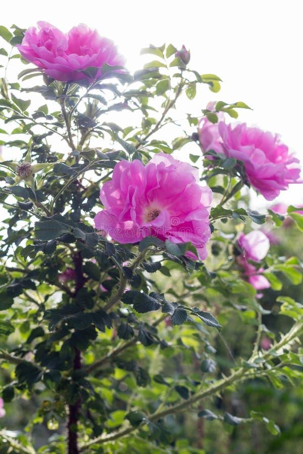 Rose Heidetraum rosada hecha excursionismo por el sol, vertical imagen de archivo libre de regalías