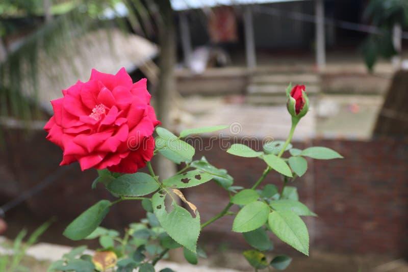Rose hermosa foto de archivo libre de regalías