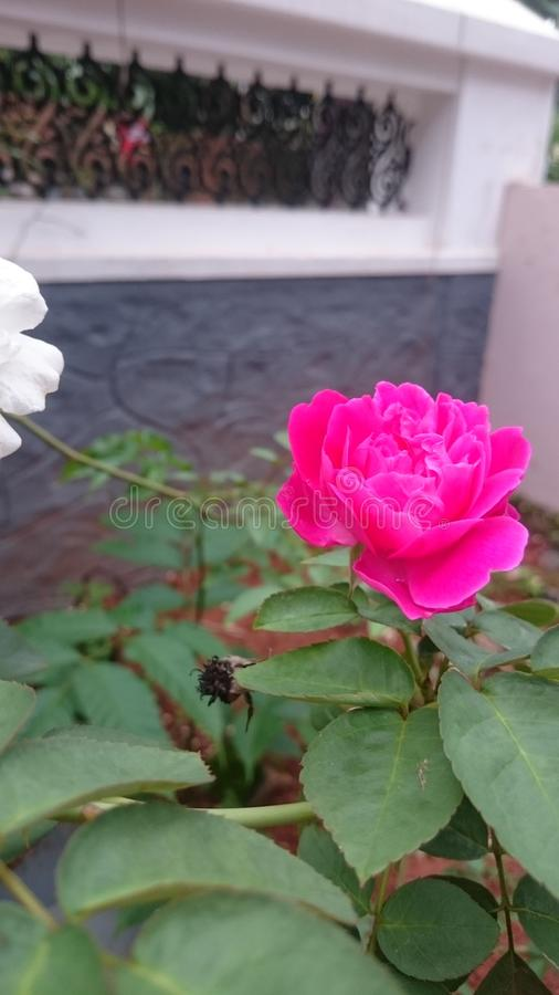 Rose hermosa subió fotos de archivo libres de regalías
