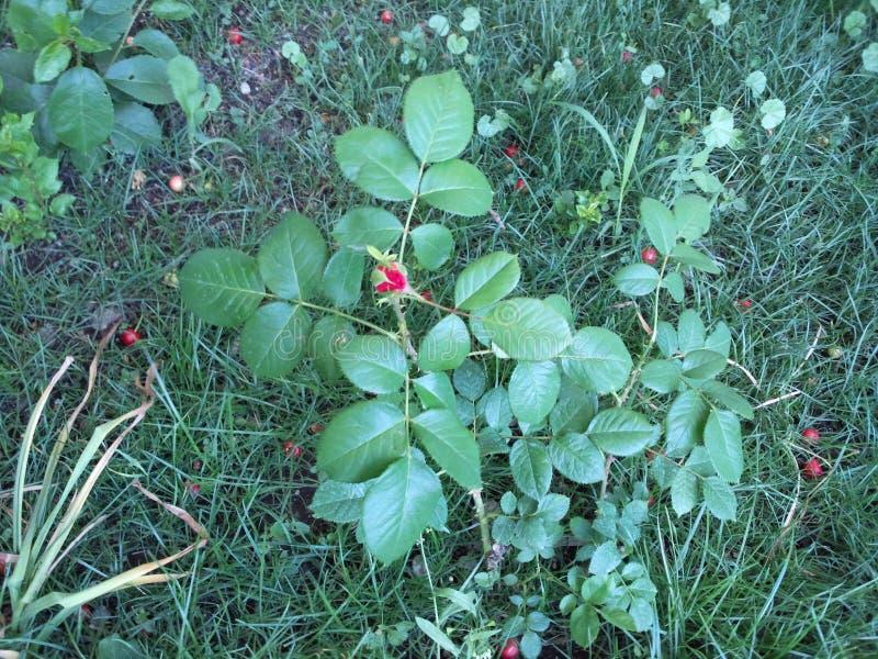 Rose, hierba, primavera y un pedazo del calor fotos de archivo libres de regalías