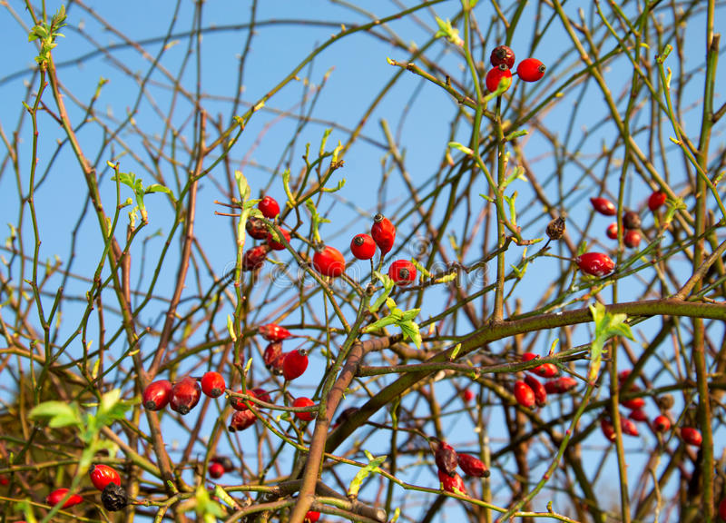 Rose Hip In Bloom royalty free stock image