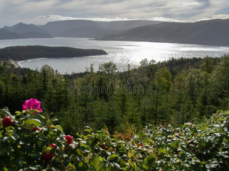 Rose hip blossoms over Bonne Bay Newfoundland. Lovely rose hip bushes on Norris Point overlooking beautiful Bonne Bay with the late afternoon sun peeking through stock image