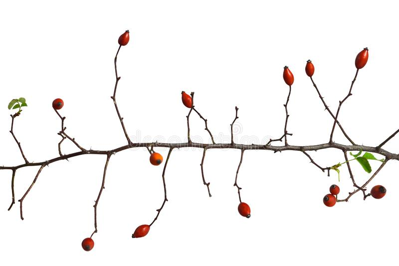 Rose hip branch isolated on white royalty free stock photo