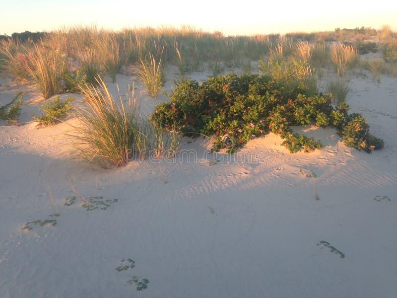 Rose Hip Bush op het Strand van Nickerson, Long Island stock fotografie