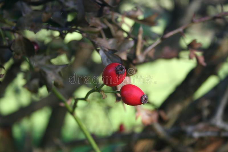 Rose Hip, Flora, Branch, Leaf Free Public Domain Cc0 Image