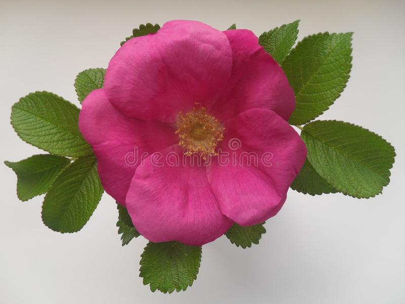 Rose hip flower stock photo