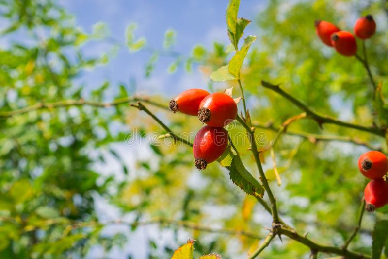 Rose Hip. Foilage and blue sky background royalty free stock photography