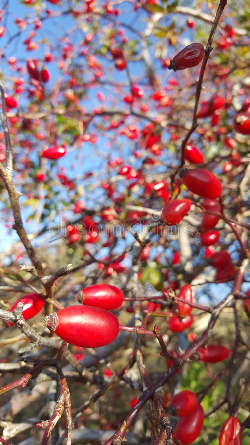 Rose Hip Fruit arkivbilder