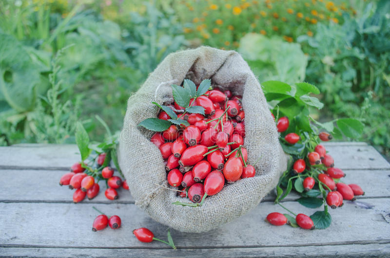 Rose hip fruit in a burlap bag over a wooden background. Hawthorn on wooden rustic table background. Rose hips haw fruit of the dog roses stock photo